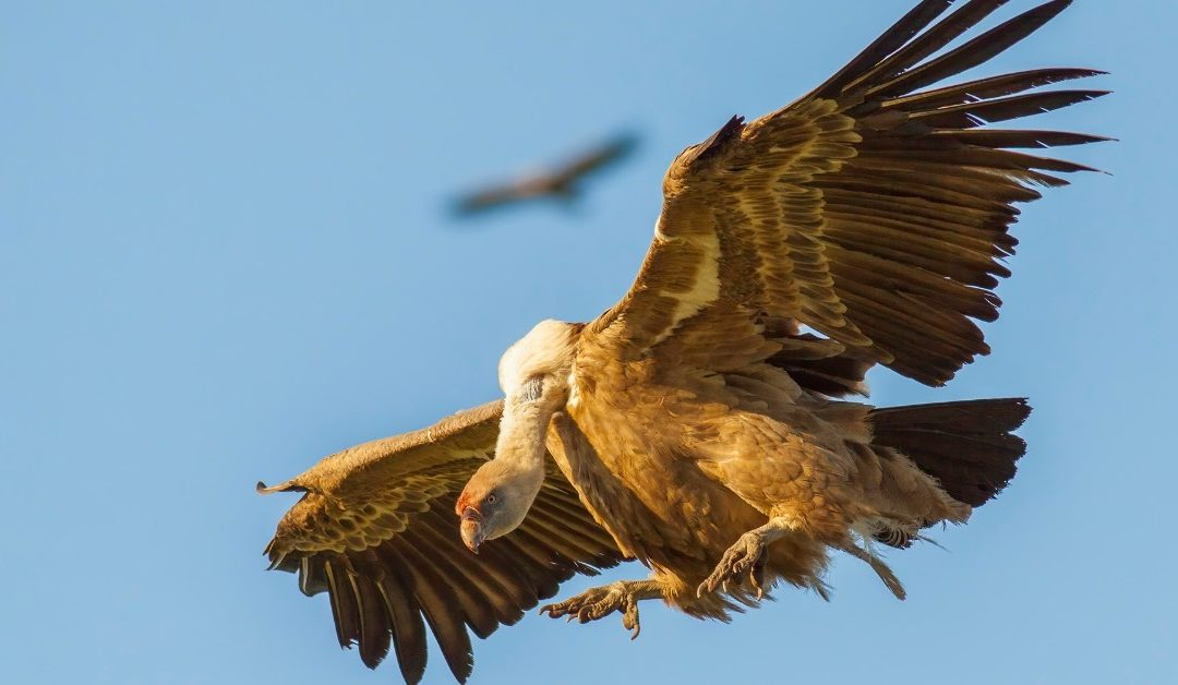 Gieren en vogeltrek bij Tarifa, Cádiz